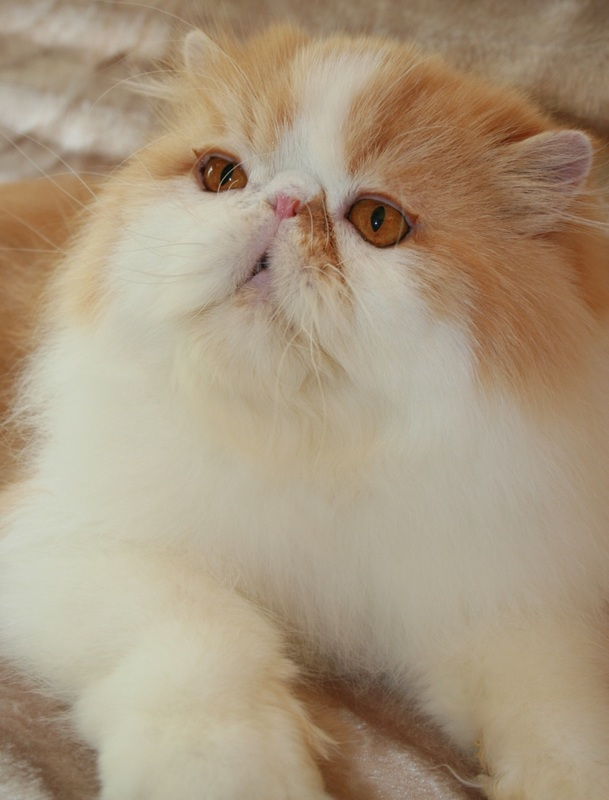 Teacup persian kittens for sale western cape
